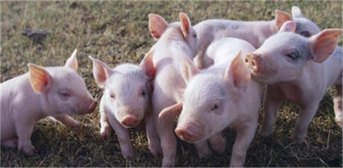 批次化生产有助于提高猪场生物安全水平