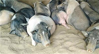 专家:2020年养猪,猪价将有3大变化!听完分析你就明白了