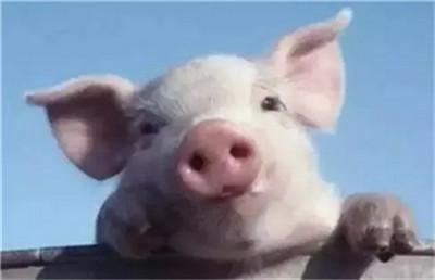 你知道猪咳嗽是什么引起的吗?竟然是吃了霉变的饲料,你了解吗?