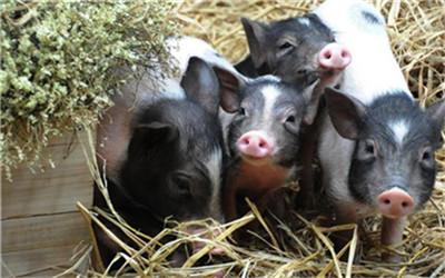 母猪分娩时正确铺设垫草 仔猪死亡率降低1%!