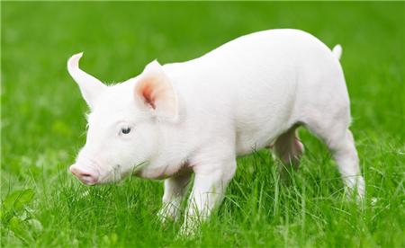 养猪|猪寄生虫病的症状是什么?如何防治?
