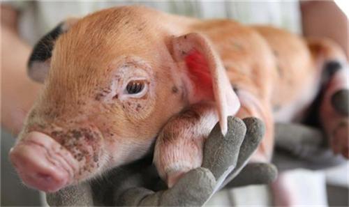 想要赚钱,那你要知道如何增加母猪的窝产仔数!