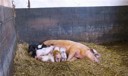 猪不止蛔虫病危害大,鞭虫病也一样