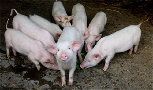 养好临产母猪可以提高仔猪成汇率,怎样养好临产母猪?