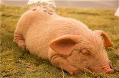 """猪肉价格同比翻番 """"最强猪周期""""何时终结?"""