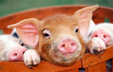母猪繁育篇一:母猪何时发情,猪也不能近亲繁殖?