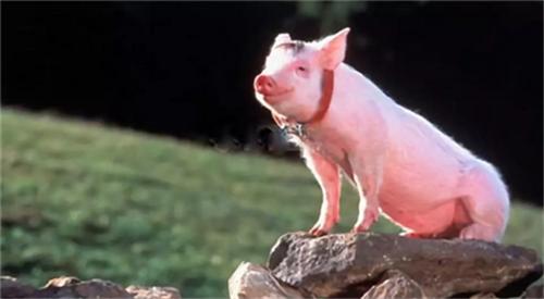 母猪是猪场核心,繁殖母猪的保健方法有哪些?