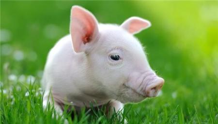 母猪初产非常重要,怎么做能使母猪繁育效果好?