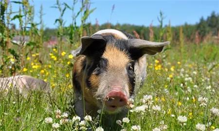 三元母猪如何留种?4步帮你搞定!