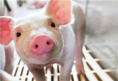 猪肉价格何时恢复合理水平?记者实地走访主要养猪大省!