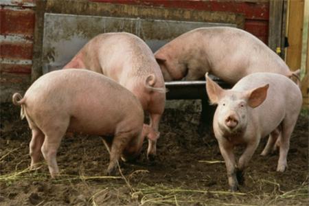 老养猪户教你农村养猪场建设的方法
