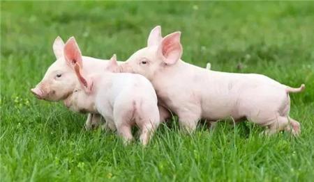 """猪场""""防非墙""""建设需考虑猪、车、物、料、人五个方面"""