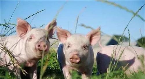 母猪怎么高产?母猪多胎高产培育管理技术(1)