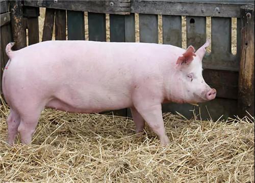母猪怎么高产?母猪多胎高产培育管理技术(2)