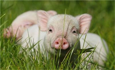 养殖常见猪病与非瘟区别,养殖户要好好学习一下