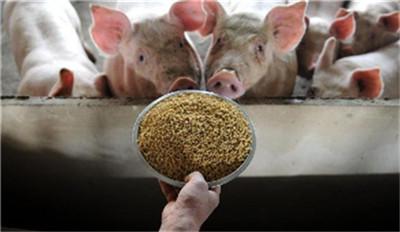 猪场喂养母猪做好这几点,后期产仔数量绝不少!