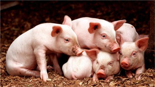 """养猪知识:怎么通过""""望闻问切""""来诊断猪病?"""