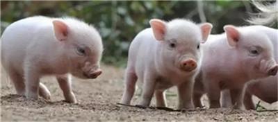 辛苦总结!猪预防疾病不可忽视的内容!