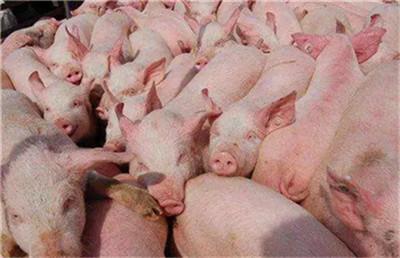 如果你猪场的猪发生这几种情况,说明你的猪可能受冷了