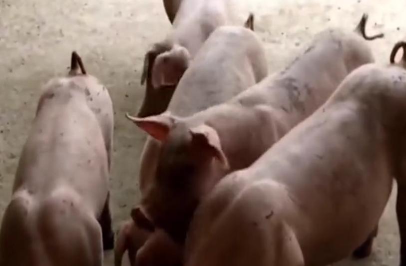 男子养猪有经验,扎疫苗用这个方法,小猪就乖乖就范