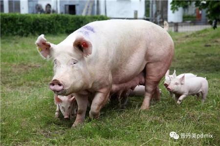 """如何提高三元母猪繁殖性能?普丹美""""有料""""!"""