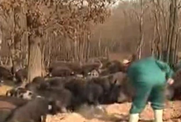 """300头猪产值120余万,农垦八五三农场靠特色黑猪""""拱""""开致富门"""