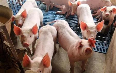防疫知识|非洲猪瘟病毒进入猪体的途径哪种感染概率最大!