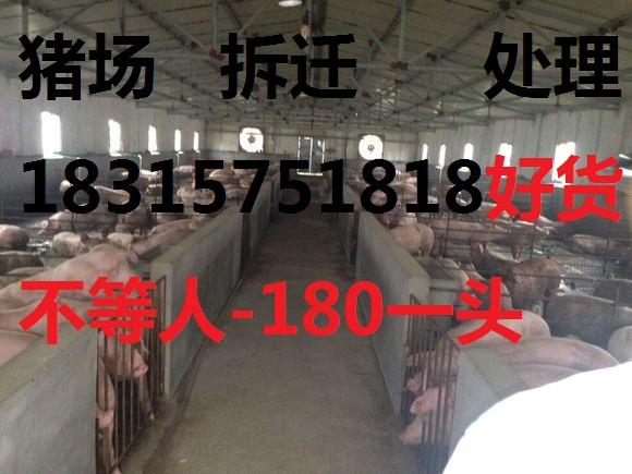山东仔猪多少钱一头,一头猪需要多少本钱。18315751818长期供