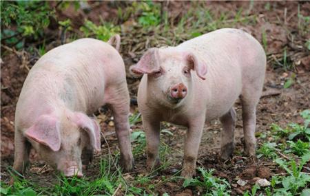 浅析副猪嗜血杆菌病的预防