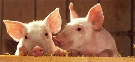 猪寄生虫病怎么治?母猪附红细胞体症状