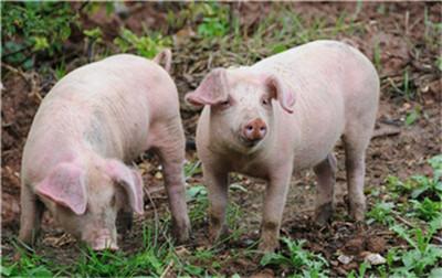 东北猪价反弹,近期会迎来全面上涨吗?