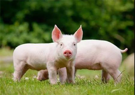 养猪头均利润至少3000元 猪价拐点明年10月前到来?