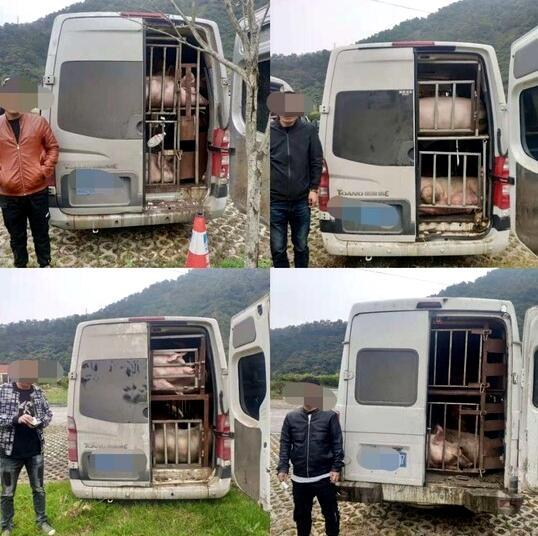 4辆7座商务车竟拉79头猪!雅西高速上司机改装贩运被查