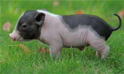 重大利好消息!安徽省生猪存栏量已止跌回稳!