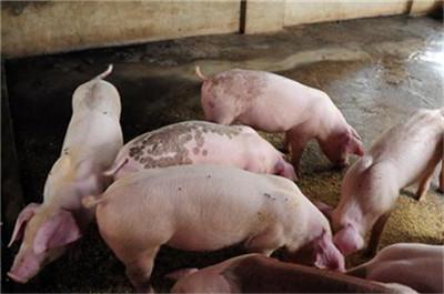 疫苗非消灭非洲猪瘟疫情唯一途径,生物安全体系待解!