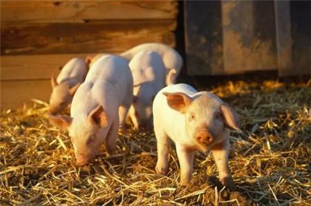 猪场出现僵猪,应该如何治疗效果才会好?