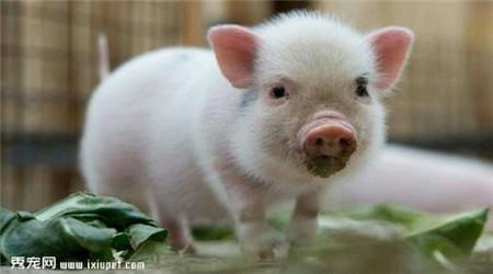早晨发现猪耳朵变红了,养猪人应该怎么办?