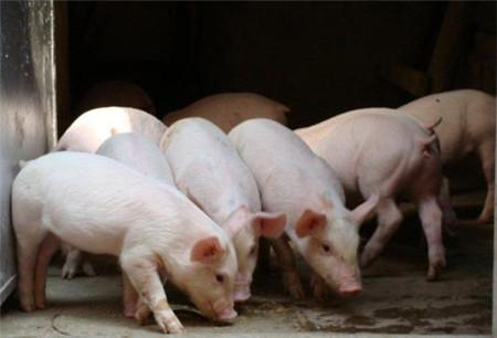 猪瘟散发情况新形势下下,我们应该如何预防?