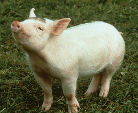 猪场保健要注意这4点,养猪人就会变的轻松很多