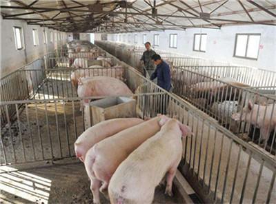 猪饲料中加盐好处多,但吃多了容易中毒,中毒以后又该怎么办?