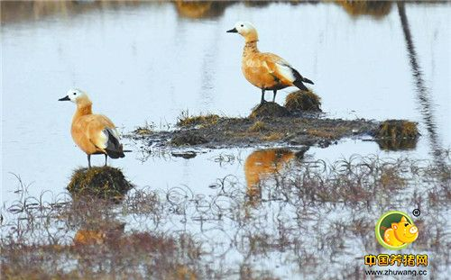 """红原湿地成为""""候鸟天堂"""""""