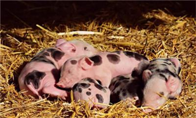 请小心注意:10种饲料勿喂猪,小心中毒!