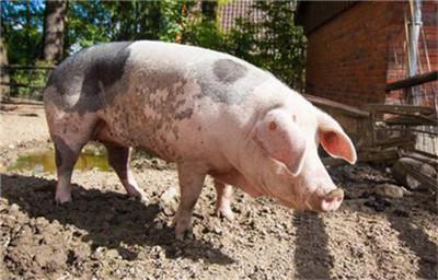 母猪产后感冒引起的不吃食,我们应该如何解决?