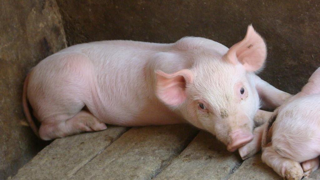 今日猪价全线暴跌!近期猪市萎靡,是谁的锅?