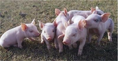 断奶仔猪这样来管理,仔猪腹泻率接近于零!