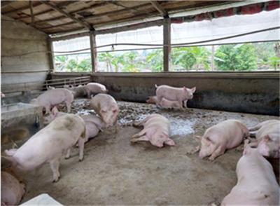 猪价刚涨,新的肉价调控措施到来,未来上涨或将更难了?