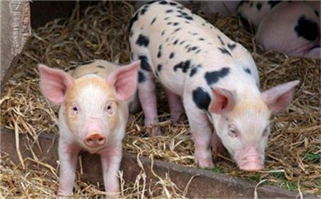 养猪十字:冬季重消毒 猪场病无忧!