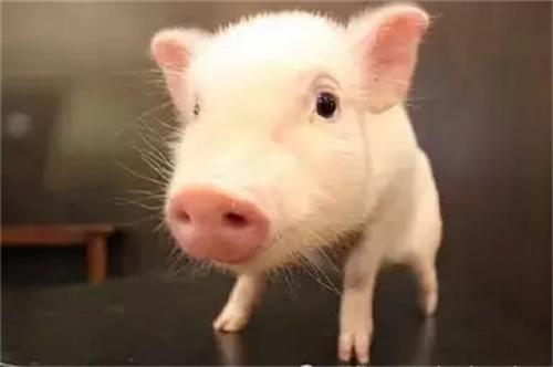 生猪主要寄生虫病具体有哪些?该怎么防治?
