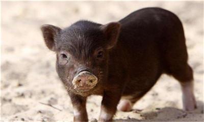 商贩被批捕!因违法跨省售卖27吨各地的非瘟阳性生猪产品