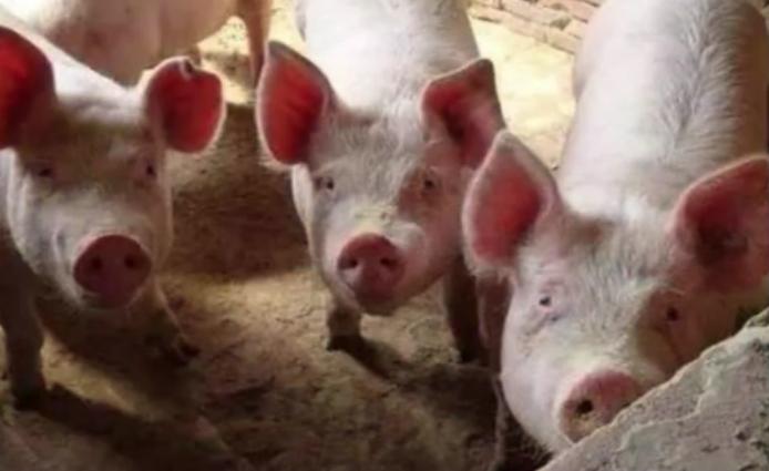 传染性最强的三种猪病,一头发病,全场覆灭!